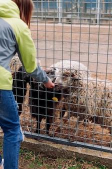 A menina alimenta uma ovelha marrom e um carneiro branco. animais comem maçãs gaiola de rede mamíferos zoológico com foco seletivo