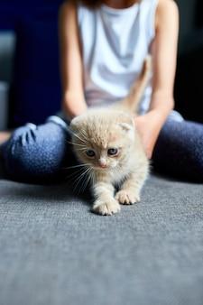 A menina criança brinca com um gatinho brincalhão britânico em casa.