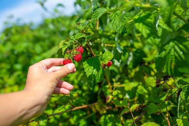 A menina em um dia ensolarado brilhante do verão escolhe framboesas maduras vermelhas de um arbusto verde