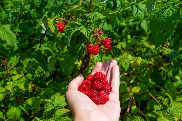 A menina em um dia ensolarado brilhante do verão escolhe framboesas maduras vermelhas de um arbusto verde.