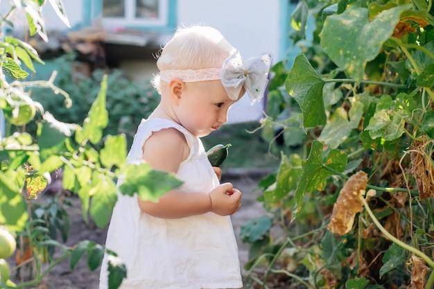 A menina pequena da criança com cabelo branco recolhe a colheita dos pepinos na estufa. folhas murchas amareladas de pepinos. última safra de legumes frescos em camas no verão. helthy comer orgânico para criança