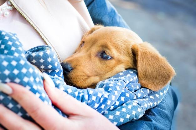 A menina segura um cachorro pequeno, um cachorro cocker spaniel, nas mãos.