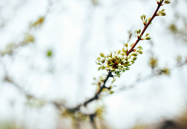 A mola brota o foco seletivo, as flores estão indo florescer