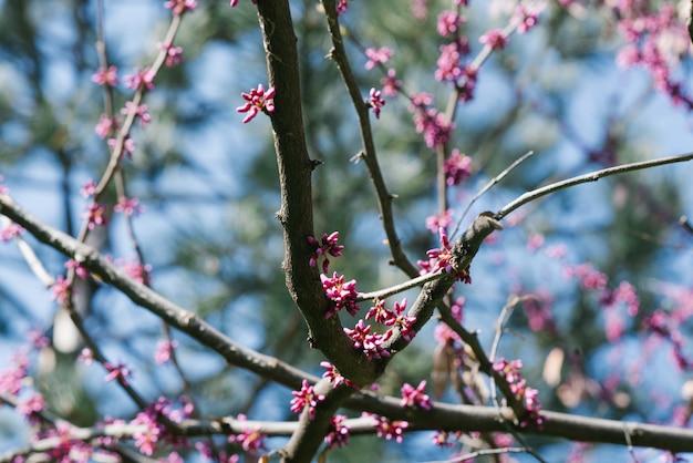 A mola canadense roxa floresce em uma árvore contra um céu azul. foco seletivo