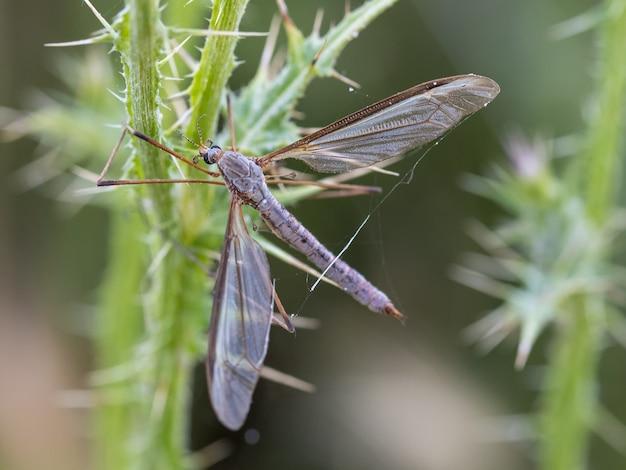 A mosca do guindaste é um nome comum que se refere a qualquer membro da família de insetos tipulidae.