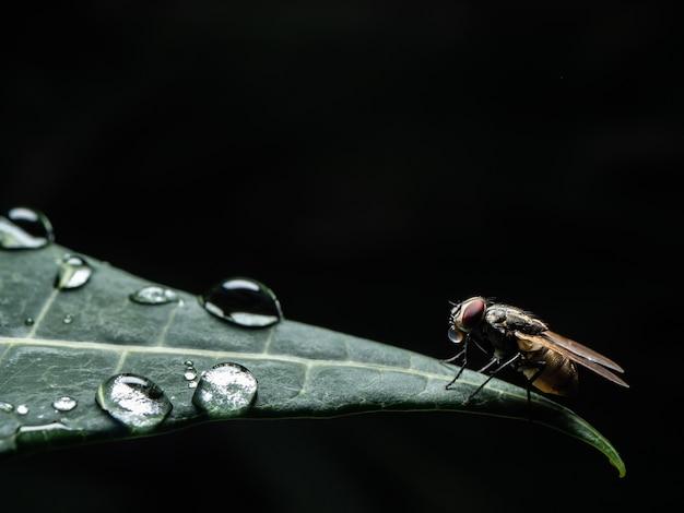 A mosca em preto