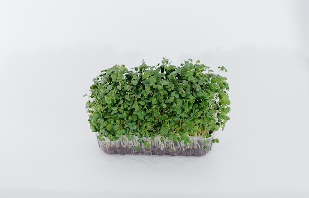 A mostarda micro-verde brota em uma mesa branca em uma panela com o solo. alimentação saudável e estilo de vida.