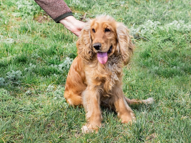 A mulher acaricia um cachorro de raça de cocker spaniel que fica na grama