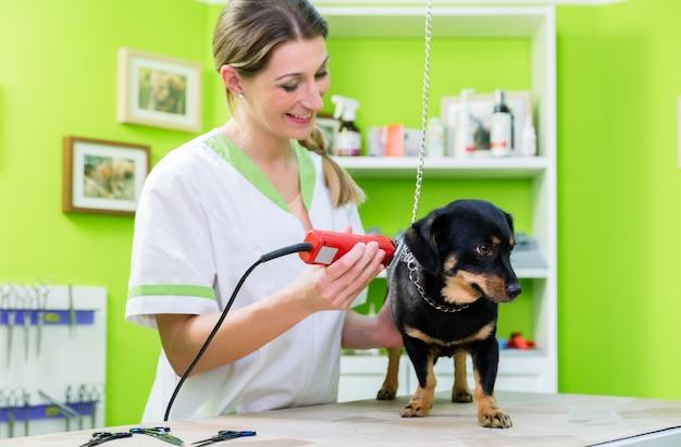 A mulher está cortando o cão na sala de estar do grooming do animal de estimação