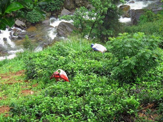 A mulher na plantação de chá, nuwara eliya, sri lanka