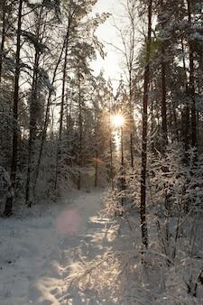 A neve cai e árvores no inverno, neve profunda e árvores após a última nevasca