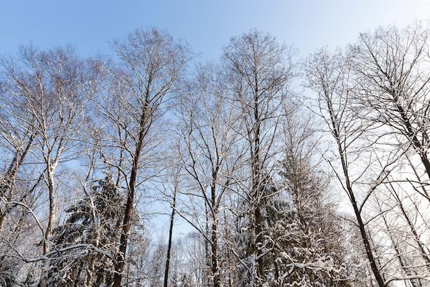 A neve cai e árvores no inverno, neve profunda e árvores após a última queda de neve, árvores e clima frio de inverno após a queda de neve