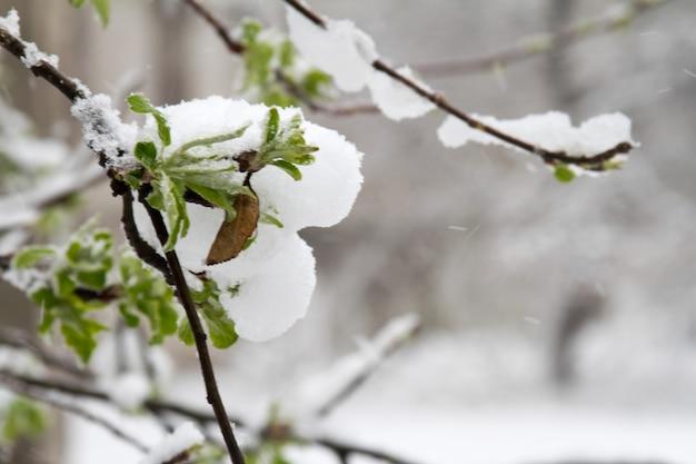 A neve caiu drasticamente na primavera. árvores quebradas, galhos, fiação. tempestade, vento, ciclone.