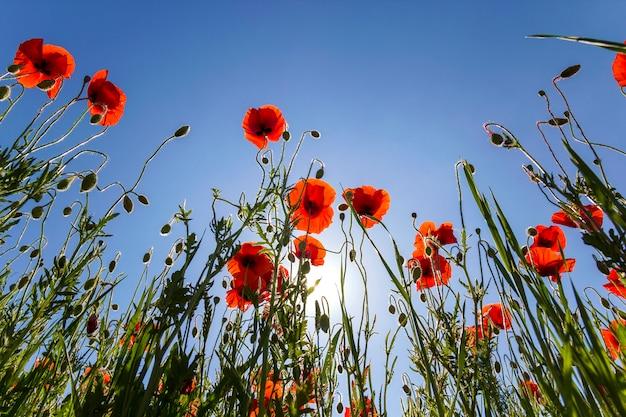 A opinião de baixo ângulo de papoilas vermelhas e de botões inteiramente brilhantes brilhantes maravilhosos nas hastes verdes altas iluminou-se pelo sol do verão contra o céu azul brilhante. beleza e ternura do conceito de natureza.