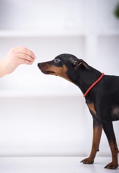 A opinião lateral o cão bonito está comendo o alimento da mão.