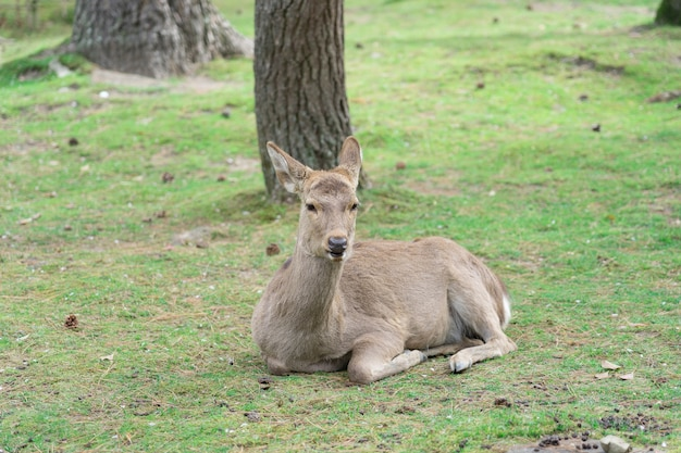 A opinião o cervo de nara coloca na grama verde em nara distinta famosa de cervos públicos no país.