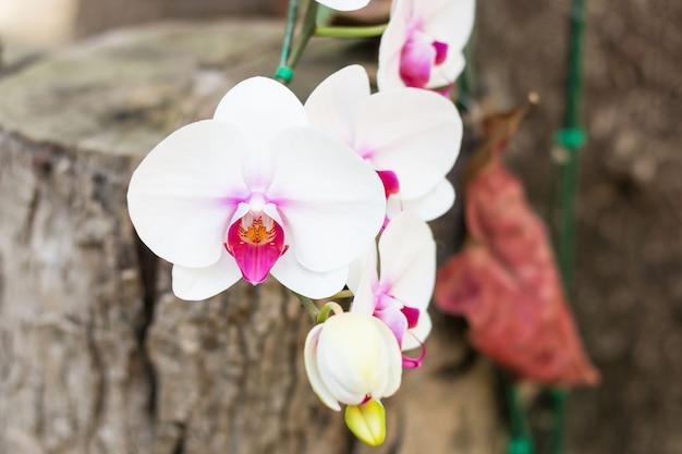 A orquídea branca e cor-de-rosa bonita floresce com borrão e bokeh do fundo.