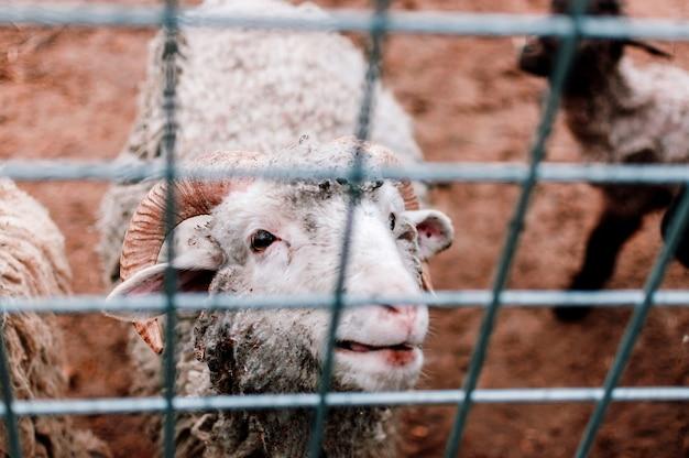 A ovelha branca olha para o paddock da fazenda e sorri. mamíferos no zoológico. foco seletivo.