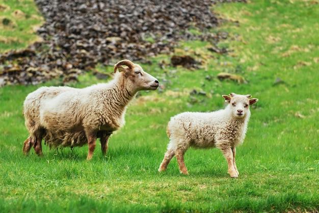 A ovelha islandesa. vistas fantásticas cachoeira no parque nacional