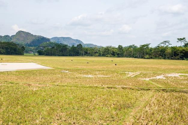 A paisagem impressionante da água encheu campos do arroz e cloudscape cênico em tana toraja, sulawesi sul, indonésia.