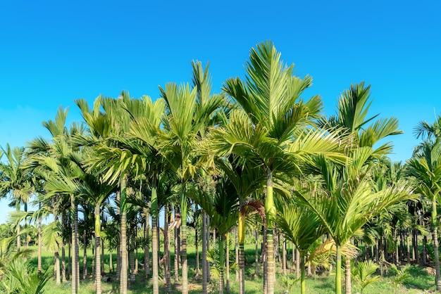 A palmeira areca ou noz de areca é conhecida como palmeira da noz de areca, palmeira da noz de areca, palmeira da noz de areca contra o céu azul.