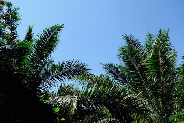 A palmeira coroa com as folhas verdes no céu ensolarado. partes superiores da palmeira dos cocos - vista da terra.