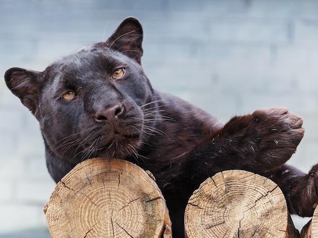 A pantera negra está deitada sobre os troncos