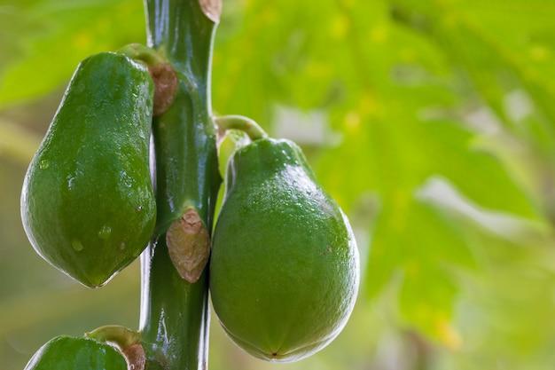 A papaia está molhada com gota da água na árvore na exploração agrícola orgânica e na luz solar da manhã.