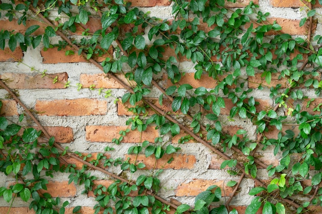 A parede é feita de tijolos e depois pintada de branco. há trepadeiras