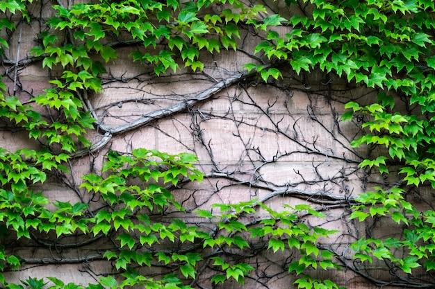 A parede na qual as uvas silvestres se espalham com um tronco volumoso.
