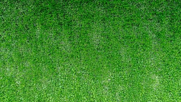 A parede verde da hera deixa a textura da natureza do fundo.