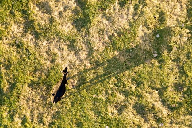 A parte superior aérea vê abaixo uma vaca que pasta apenas no prado verde iluminado pela luz do por do sol no verão.