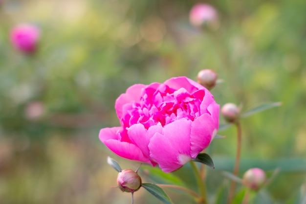 A peônia cor-de-rosa delicada de florescência floresce no jardim. flor cor-de-rosa da peônia, paeonia suffruticosa. peônia em chinês, símbolo na cultura chinesa. é uma flor nacional para a china. exuberante cabeça de flor grande