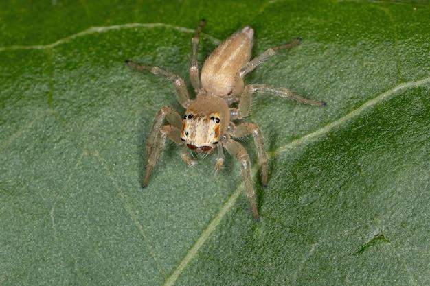 A pequena aranha saltadora do gênero chira