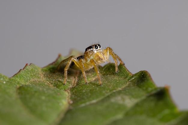 A pequena aranha saltadora do gênero frigga em uma folha de hibisco sabdariffa
