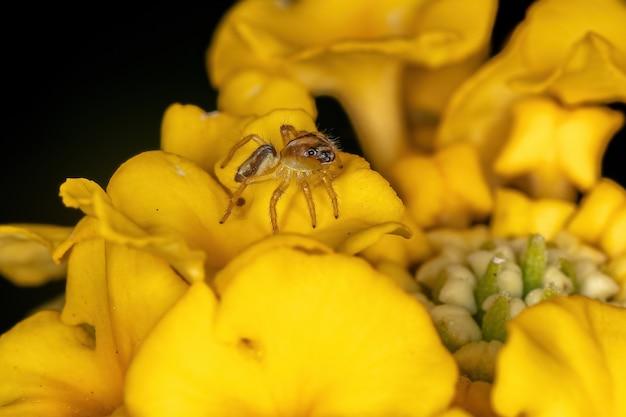 A pequena aranha saltadora do gênero frigga