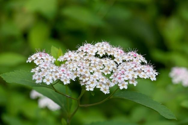 A planta com flores spiraea japonica spiraea é rosa fundo de verão