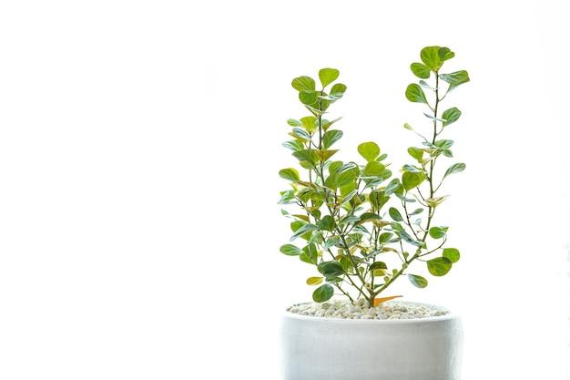 A planta da borracha do visco é uma árvore ornamental que pode ser plantada dentro de casa