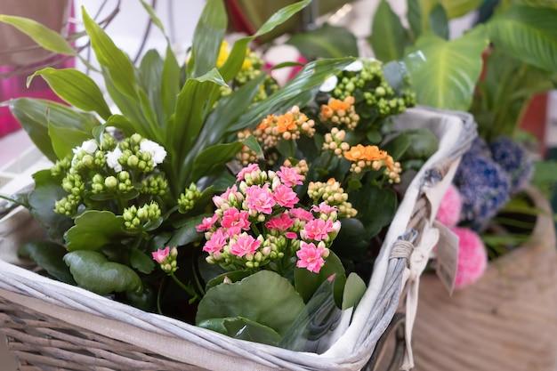 A planta de casa kalanchoe com pequenas flores brancas, rosa e laranja é vendida em uma floricultura.