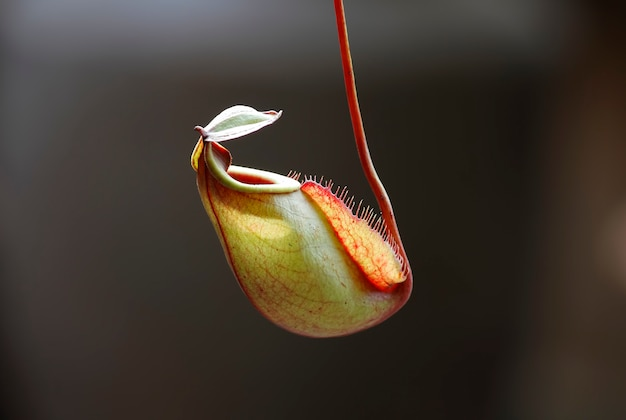 A planta de jarro tropical