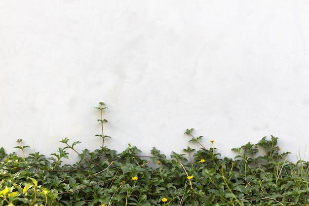 A planta trepadeira verde na parede