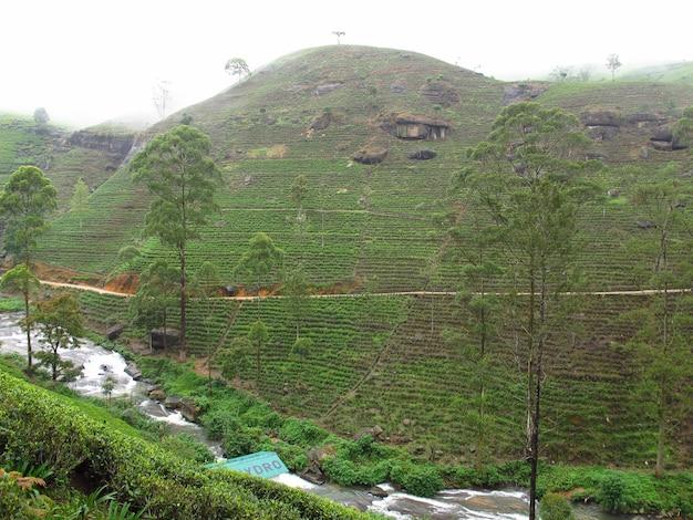 A plantação de chá em nuwara eliya, sri lanka