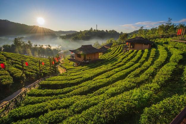 A plantação de chá na natureza as montanhas em ban rak thai, mae hong son, tailândia