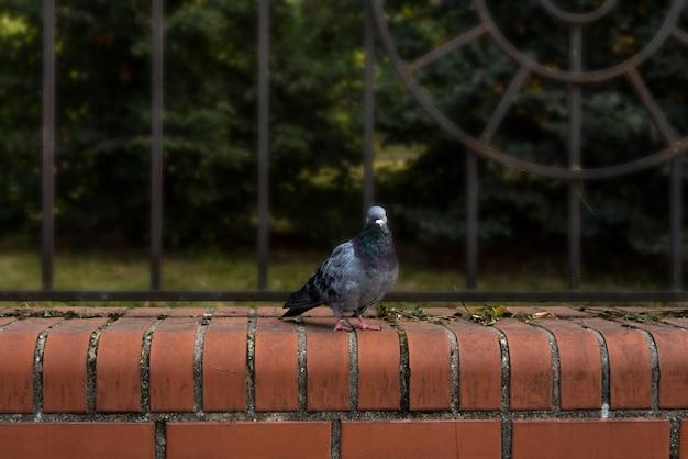 A pomba ave branca urbana adorna a paisagem.