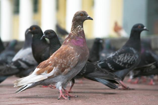 A pomba na área em comparação com outros pombos