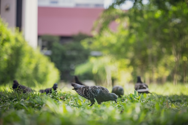 A pomba ou os pombos estão procurando a comida no jardim.