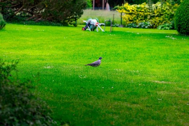 A pomba vai na grama verde.
