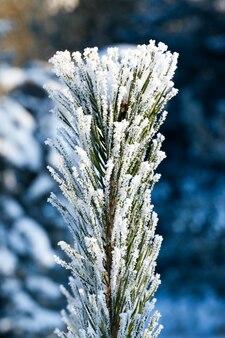 A ponta de um pinheiro com longas agulhas cobertas por cristais de gelo brancos, uma foto em close-up