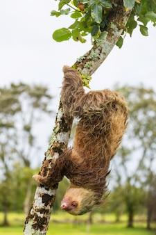A preguiça na árvore na costa rica, américa central