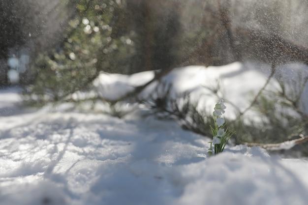 A primeira flor da primavera. snowdrop na floresta. dia de sol de primavera na floresta.